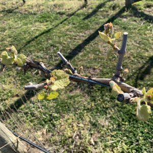 In the Vineyard – Spring